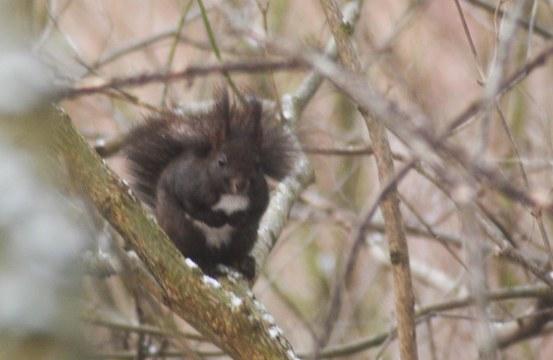 dunkelbraunes europäisches Eichhörnchen wartet auf Fütterung